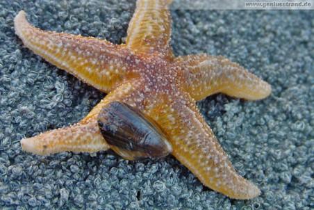 Geniusstrand - Muschel beißt Seestern