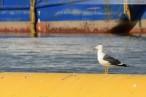 Wilhelmshaven: Möwen an der Baustelle JadeWeserPort