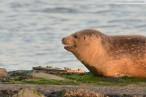 Wilhelmshaven: Ein Seehund genießt des Sonnenuntergang am Südstrand