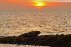 Wilhelmshaven Südstrand: Ein Seehund genießt den Sonnenuntergang