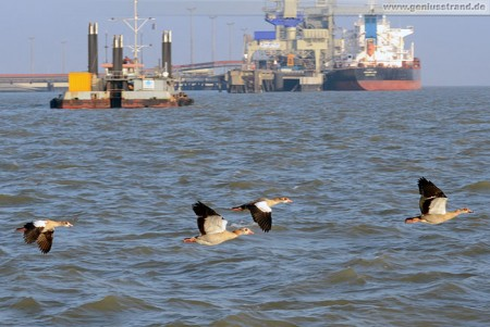 Wilhelmshaven: Nilgänse (Alopochen aegyptiacus) auf der Jade unterwegs