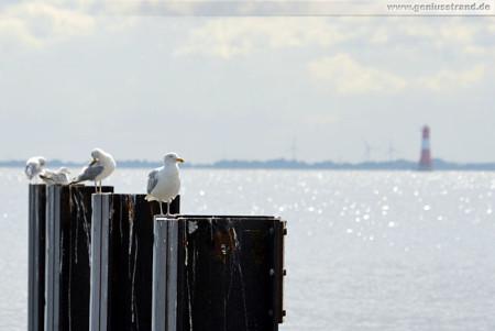 Wilhelmshaven: Möwen auf den Reibepfählen am Helgolandkai