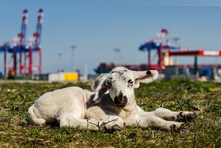 Wilhelmshaven JadeWeserPort: Osterlämmer genießen das Wetter am Deich