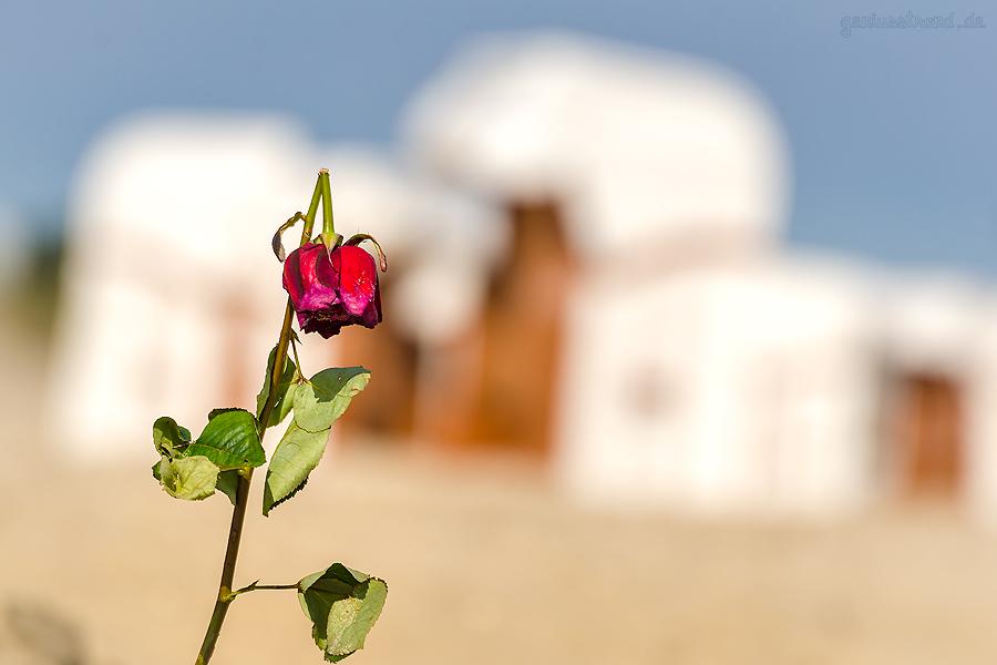 Seebestattung an der Nordseeküste: Rosen werden meist nach einer Seebestattung angespült