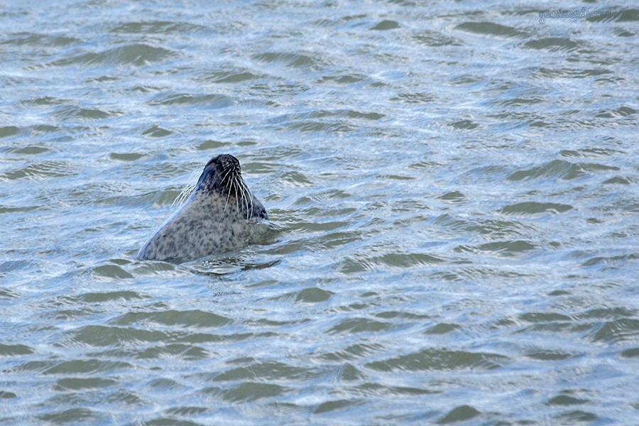 WILHELMSHAVEN: Seehund bei Sturmflut im Alten Vorhafen